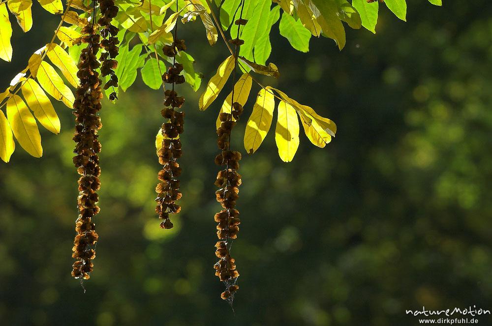 robinie robinia pseudoacacia laub mit herbstf rbung fr chte teich im sheltenham park. Black Bedroom Furniture Sets. Home Design Ideas
