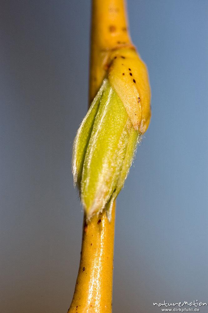 trauerweide salix x sepulcralis salix alba cv 39 tristis 39 salicaceae frisch austreibende. Black Bedroom Furniture Sets. Home Design Ideas