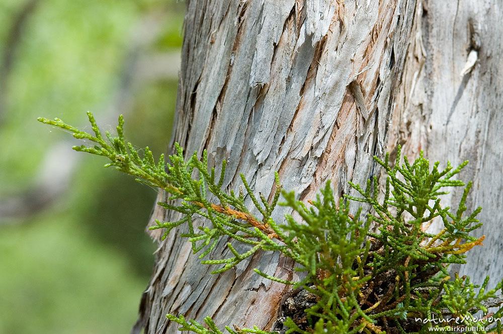wacholder juniperus communis cupressaceae nadelbl tter und borke campingplatz ascaghjiu. Black Bedroom Furniture Sets. Home Design Ideas