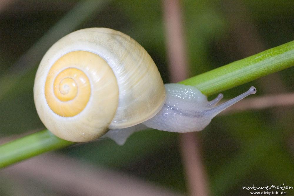 Garten Bänderschnecke Cepaea Hortensis Helicidae Rein Gelbe