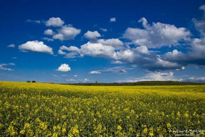 Rapsfeld, blühend, darüber Wolken an blauem Himmel, Ballenhausen bei Göttingen, Deutschland