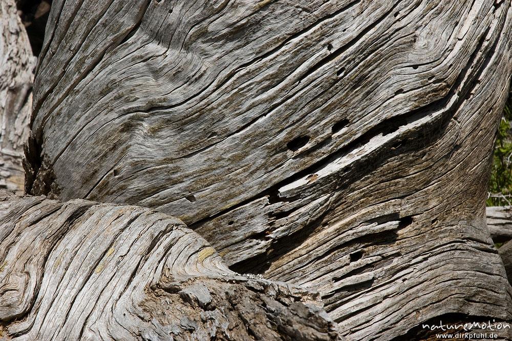 Totholz schwarz kiefer laricio kiefer pinus nigra - Kiefer baum kaufen ...