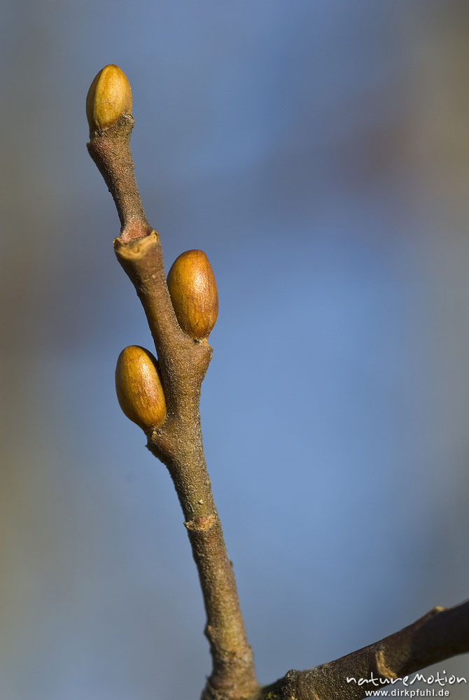 hainbuche carpinus betulus betulaceae knospen im winter. Black Bedroom Furniture Sets. Home Design Ideas
