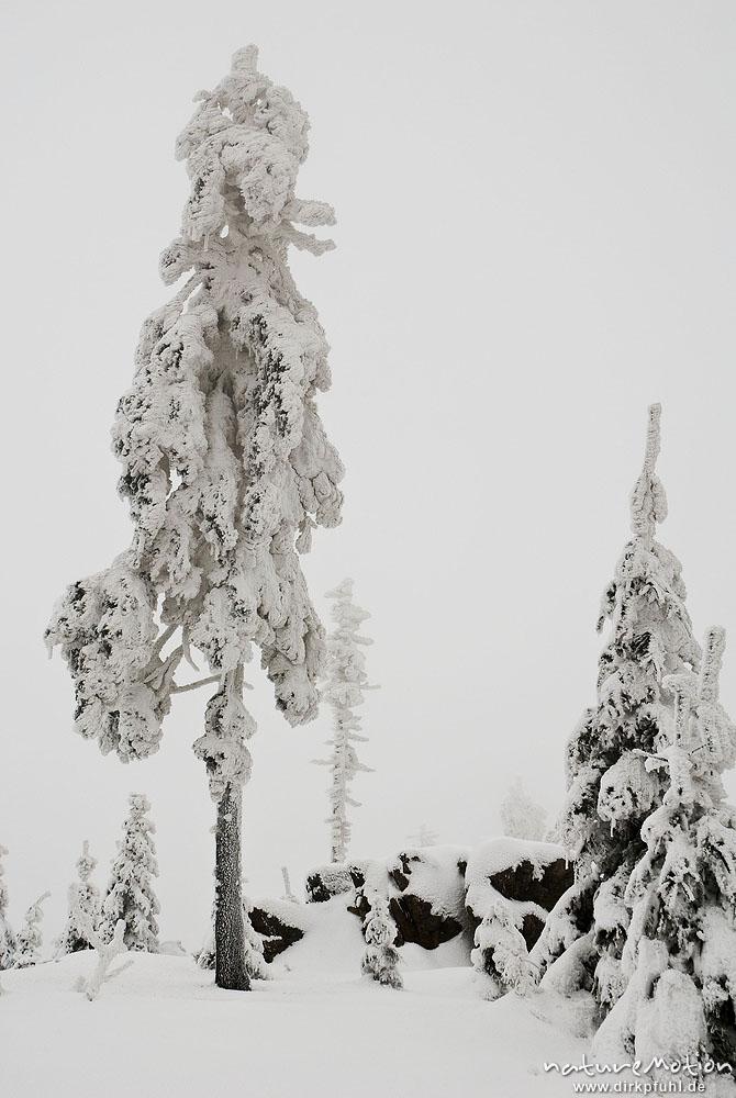 tief verschneiter fichtenwald vereiste fichten haus k hnenburg harz deutschland. Black Bedroom Furniture Sets. Home Design Ideas