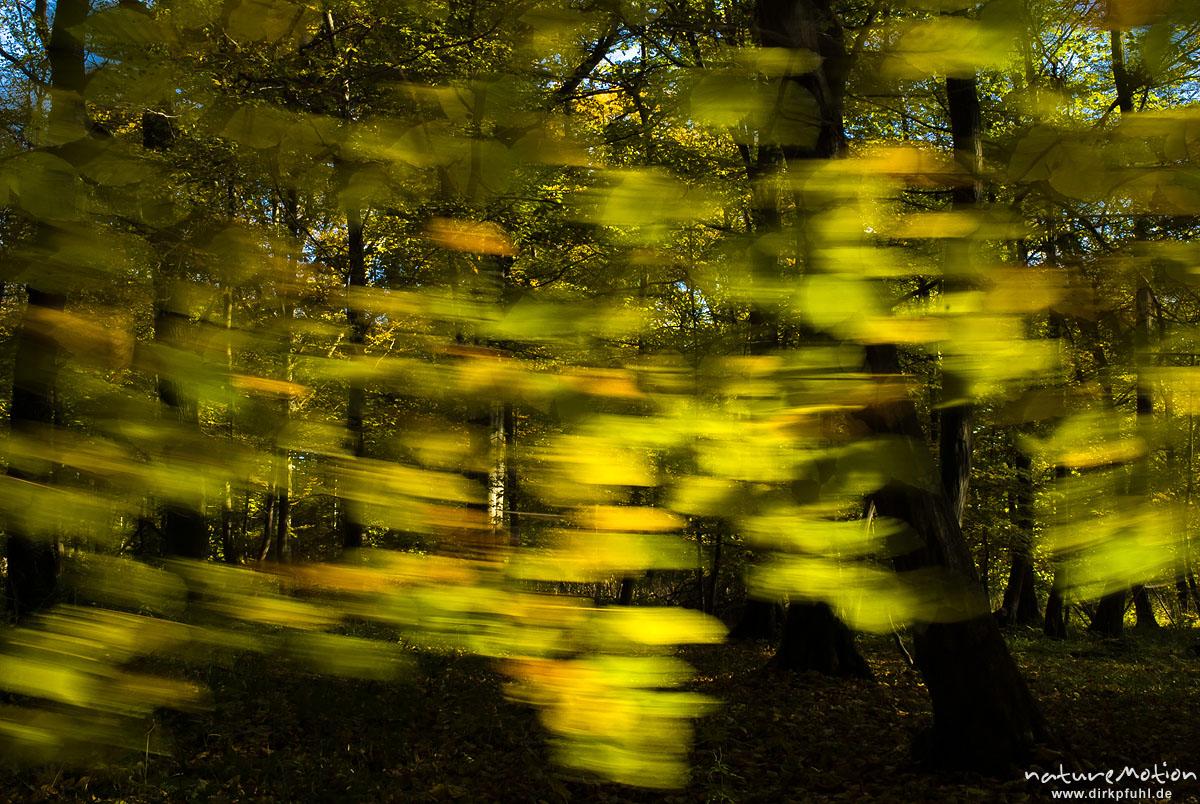 Hainbuche, Carpinus betulus, Betulaceae, Blätter mit Herbstfärbung, bewegen sich im Wind, Göttingen, Deutschland