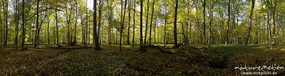 Herbstwald, Hainbuchen und Rot-Buchen in Herbstfärbung, Laubstreu, Schatten, Gegenlicht, Göttingen, Deutschland
