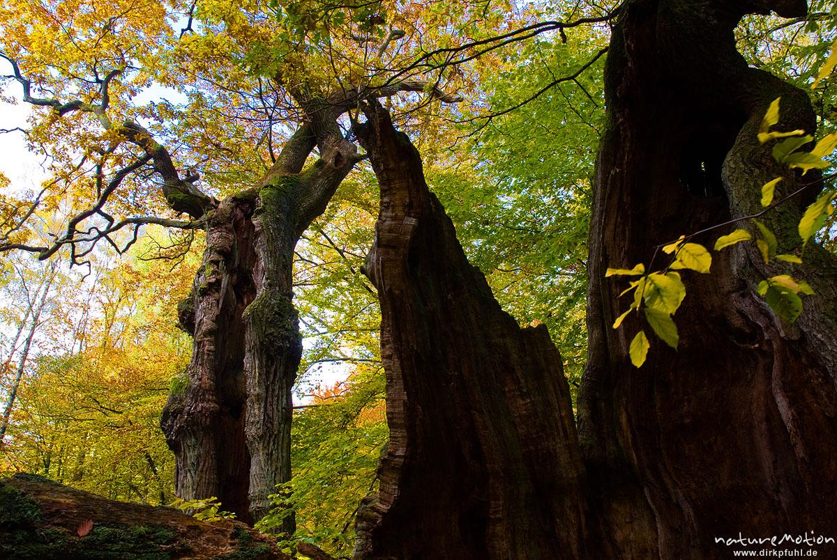 alte Eiche mit hohlem Stamm, ehemals einzeln stehend, jetzt inmitten von Buchenwald, davor zerfallene Eiche, Herbstlaub, Urwald Sababurg, Deutschland