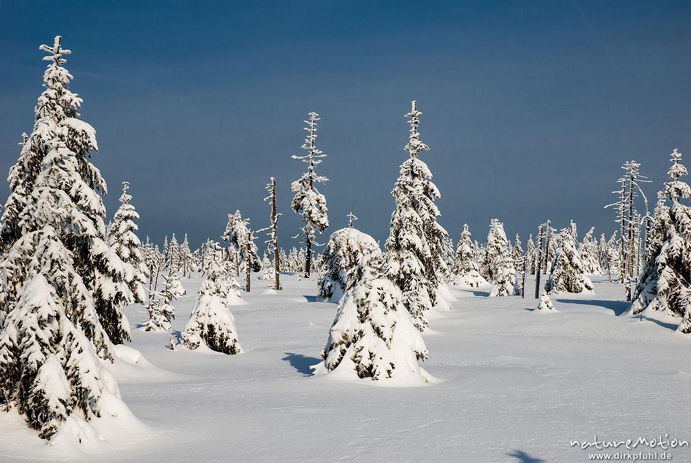 fichten schneebedeckt moorfl chen im nationalpark harz. Black Bedroom Furniture Sets. Home Design Ideas