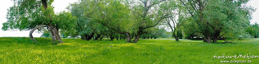 Auwald mit Silber-Weiden und blühendem Hahnenfuß, Elbtalaue, Rühstädt bei Wittenberge, Deutschland