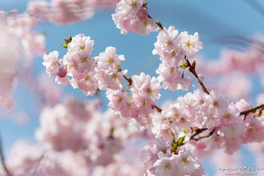 japanische bl tenkirsche prunus serrulata rosaceae baum. Black Bedroom Furniture Sets. Home Design Ideas