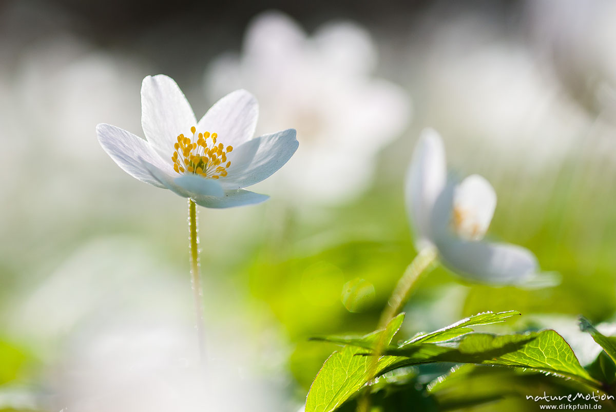Buschwindröschen, Anemone nemorosa, Ranunculaceae, Blüten in dichtem Bestand auf dem Waldboden, Göttingen, Deutschland