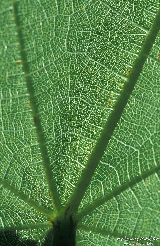 Zimmerlinde kapl ndische zimmerlinde sparrmannia africana malvaceae blatt im durchlicht - Zimmerlinde bilder ...