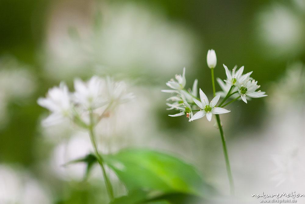 b rlauch allium ursinum liliaceae bl hende pflanze. Black Bedroom Furniture Sets. Home Design Ideas