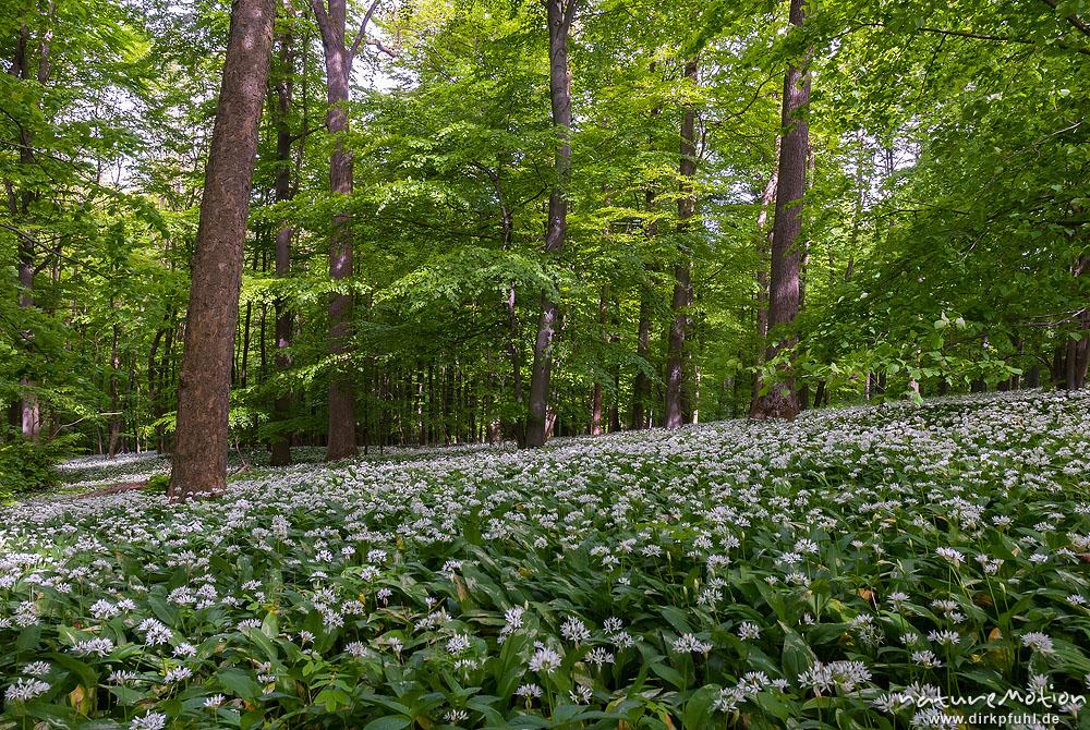 b rlauch allium ursinum liliaceae dichter bestand bl hender pflanzen im buchenwald. Black Bedroom Furniture Sets. Home Design Ideas