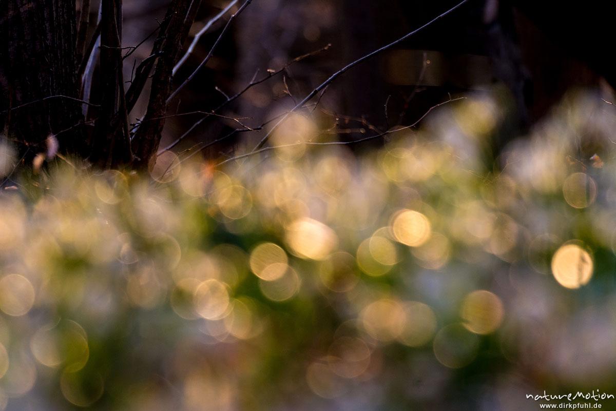 Märzenbecher, Leucojum vernum, Amaryllidaceae, Blüten, Lichtreflexe, Westerberg, Göttingen, Deutschland