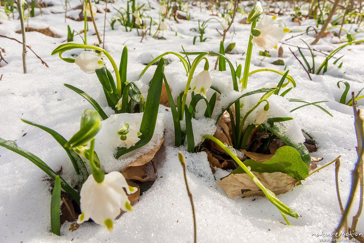Märzenbecher, Leucojum vernum, Amaryllidaceae, blühende Pflanzen im Schnee, Wintereinbruch im März, Westerberg, Göttingen, Deutschland