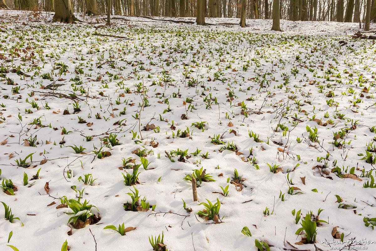 Bärlauch, Allium ursinum, Liliaceae, erste Blätter sprießen aus dem Schnee, Westerberg, Göttingen, Deutschland