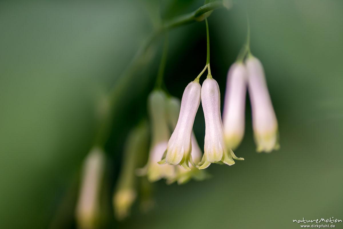 Salomonssiegel, Vielblütige Weißwurz, Polygonatum multiflorum, Spargelgewächse (Asparagaceae), blühende Pflanze, Westerberg, Göttingen, Deutschland
