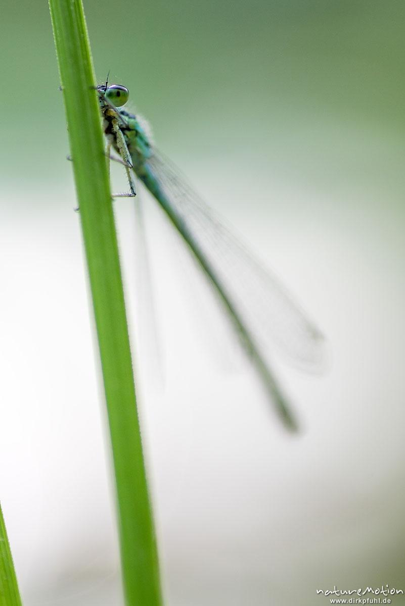 Große Pechlibelle, Gemeine Pechlibelle, Ischnura elegans, Coenagrionidae, Weibchen, sitzt an Grashalm, Alter Botanischer Garten, Göttingen, Deutschland