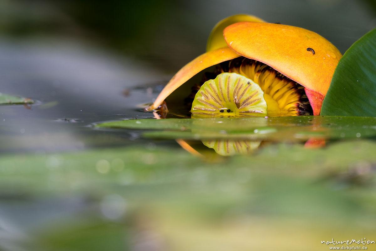Gelbe Teichrose, Nuphar lutea, Nymphaeaceae, Blüte liegt im Wasser, Alter Botanischer Garten, Göttingen, Deutschland