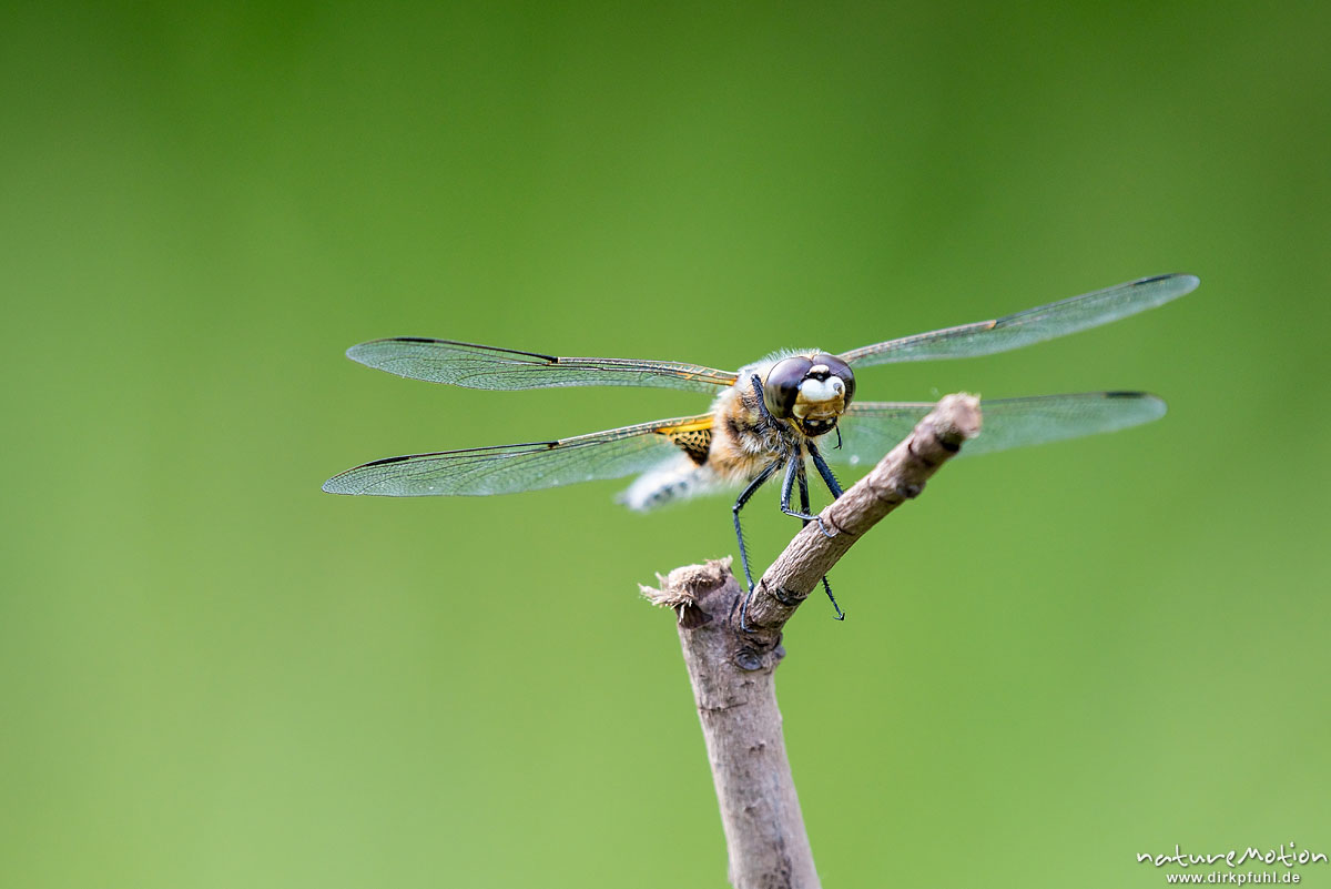 Vierfleck, Libellula quadrimaculata, Segellibellen - Libellulidae, Männchen sitzt auf Weidenzweig, Sitzwarte, Alter Botanischer Garten, Göttingen, Deutschland