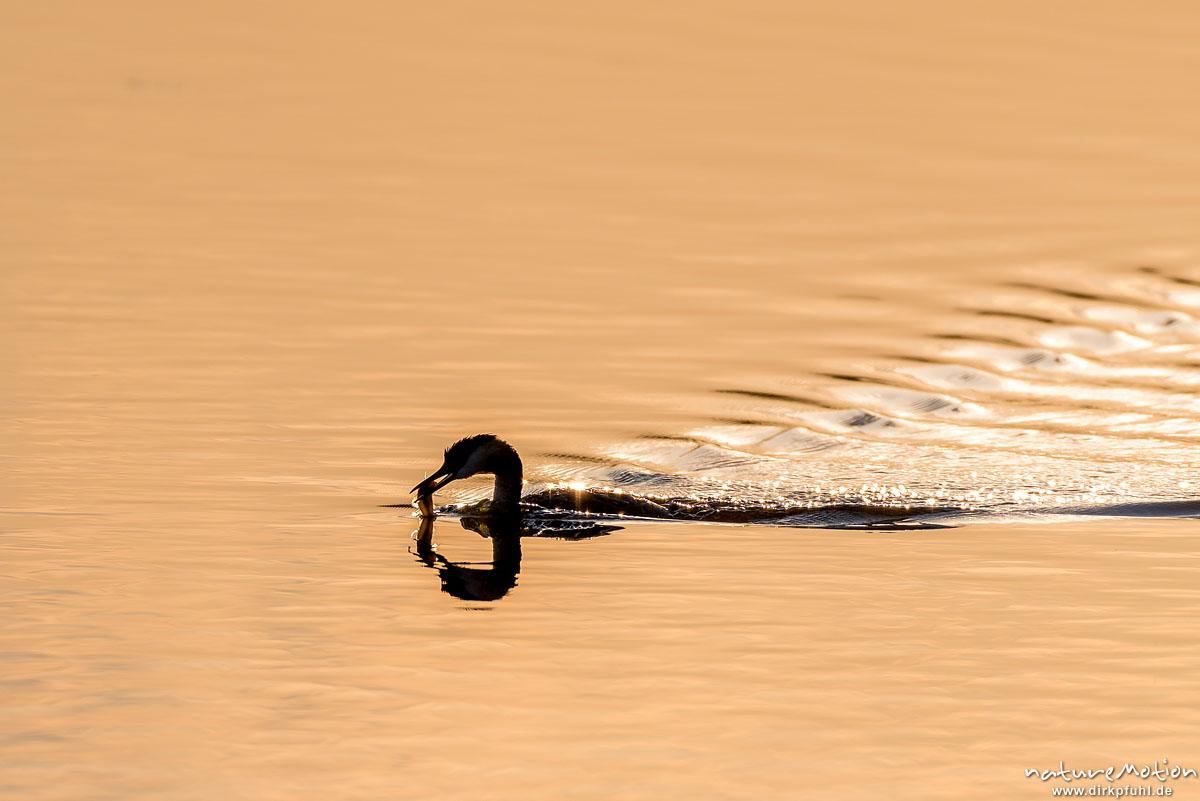 Haubentaucher, Podiceps cristatus, Podicipedidae, Alttier schwimmt mit gefangenem Fisch zum Jungtier, Seeburger See, Deutschland