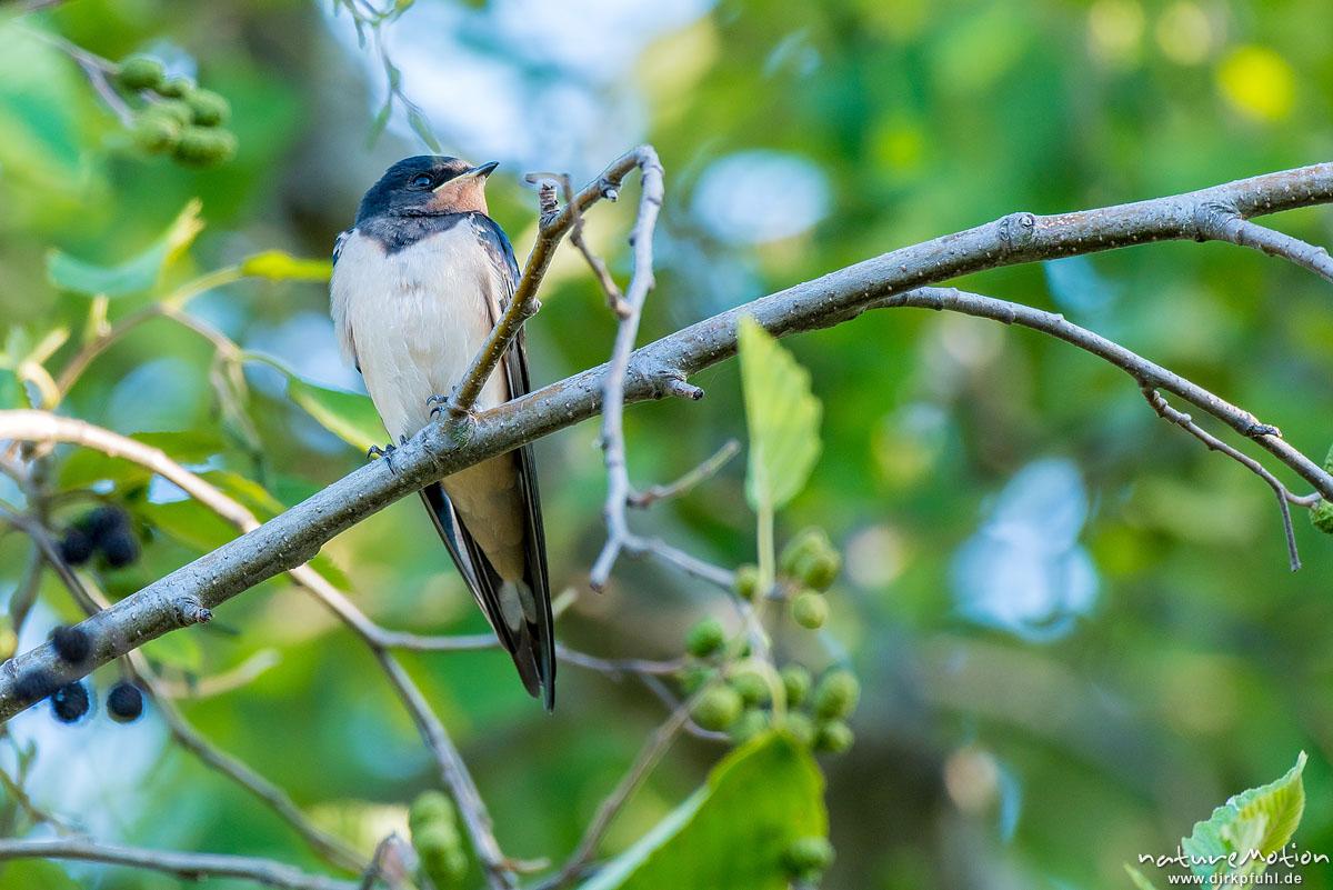 Rauchschwalbe, Hirundo rustica, Schwalben (Hirundinidae), Tiere rasten in Baum, Flütewehr, Göttingen, Deutschland