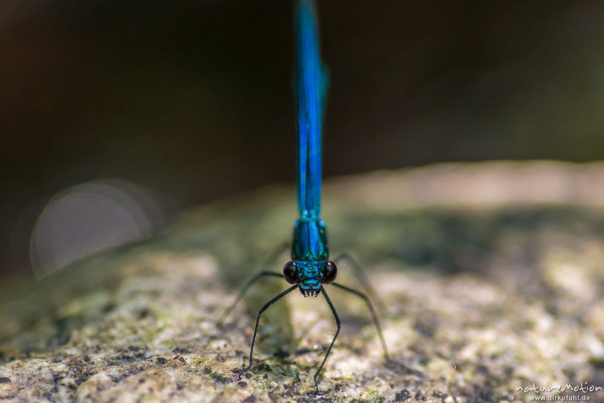 Blauflügel-Prachtlibelle, Calopteryx virgo, Prachtlibellen (Calopterygidae), Männchen, sitz auf Stein, Bachlauf der Ligne, Largentiére, Frankreich