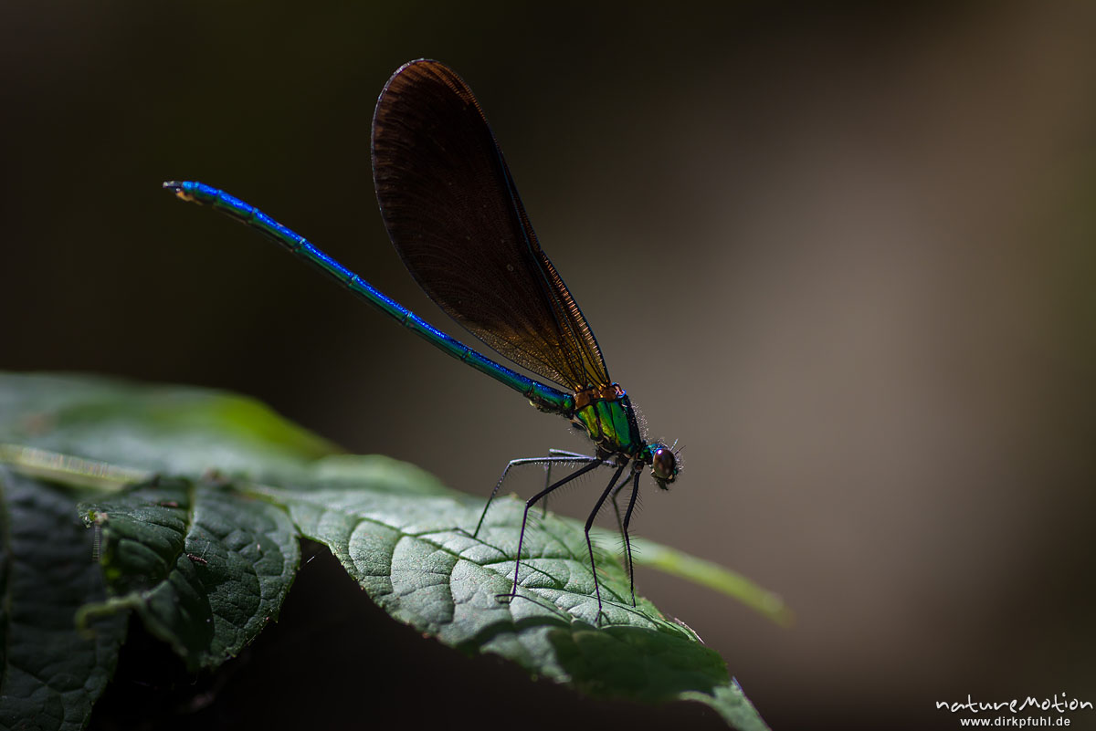 Blauflügel-Prachtlibelle, Calopteryx virgo, Prachtlibellen (Calopterygidae), Männchen, sitz auf Blatt, Bachlauf der Ligne, Largentiére, Frankreich