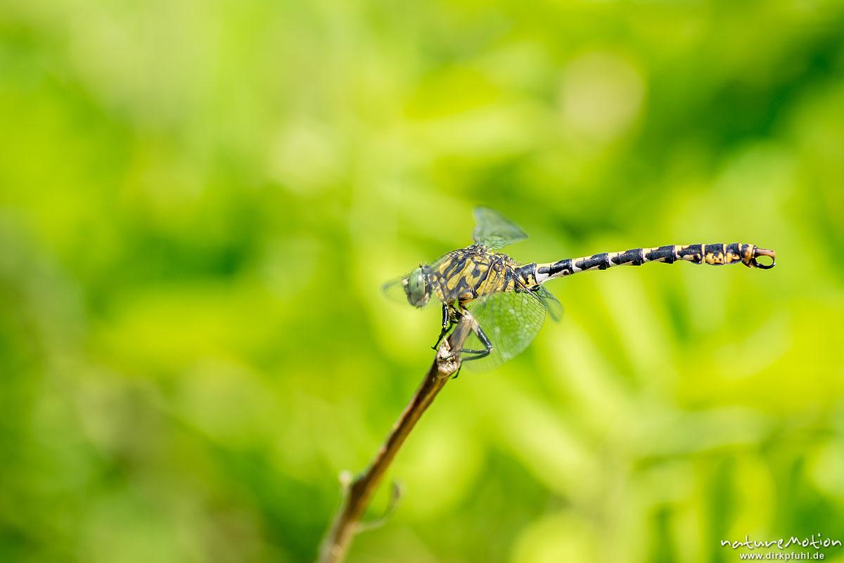 Große Zangenlibelle, Onychogomphus uncatus, Flussjungfern (Gomphidae,Männchen, sitzt an Ast, Flusslauf des Tarn, Florac, Frankreich
