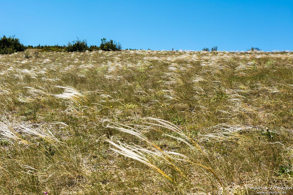 Echtes Federgras, Stipa pennata, Süßgräser (Poaceae,mit fedrigen Haaren an den jungen Blättern,  Causse Méjean, Florac, Frankreich