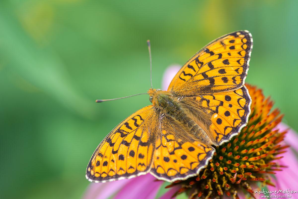 Großer Perlmuttfalter, Argynnis aglaja, Edelfalter (Nymphalidae), (?), Tier saugt Nektar an Blüte, Garten, Ferme de Saliéges, Florac, Frankreich