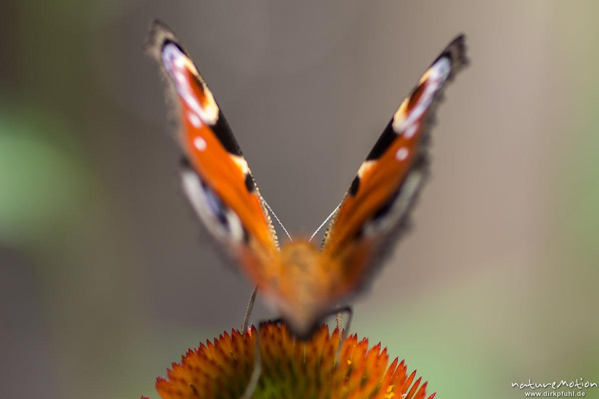 Tagpfauenauge, Inachis io, Nymphalidae, Tier saugt Nektar, Garten, Ferme des Saliéges, Florac, Frankreich