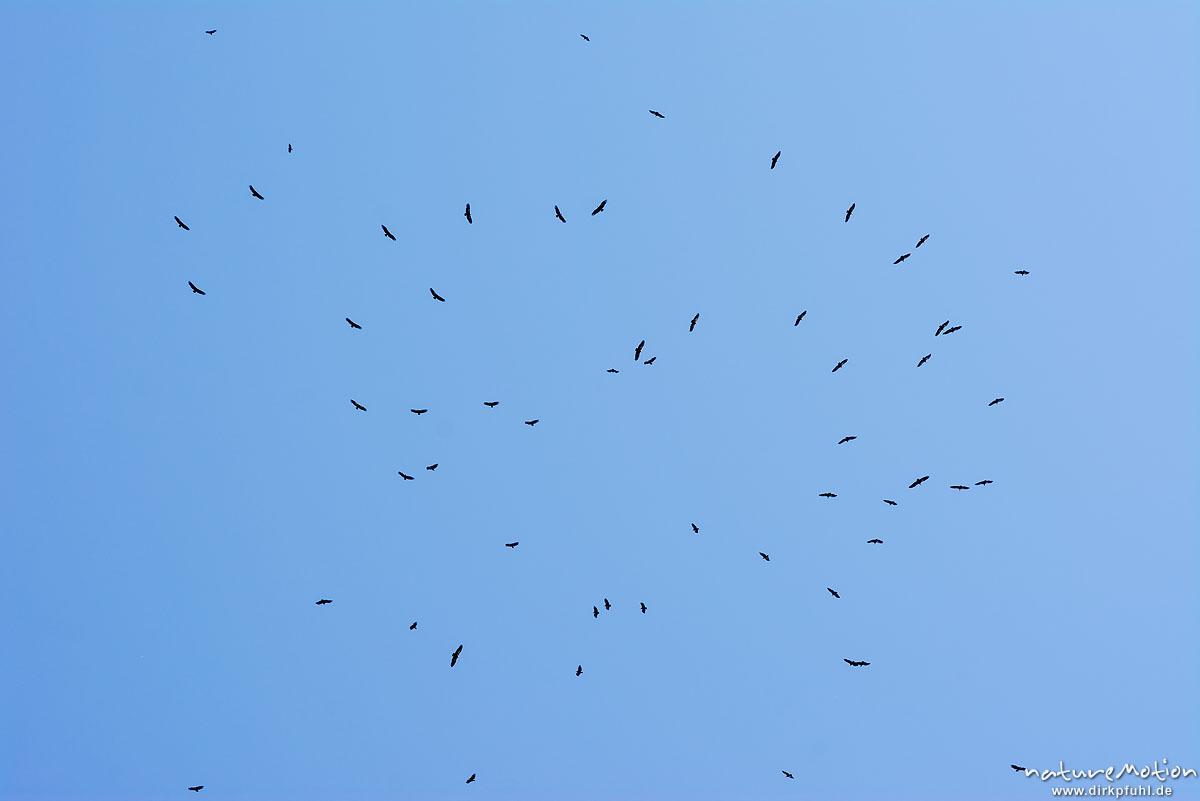 dutzende Geier kreisen in der Thermik, Aufzuchtstation Nähe Cassagnes, Le Rozier, Frankreich