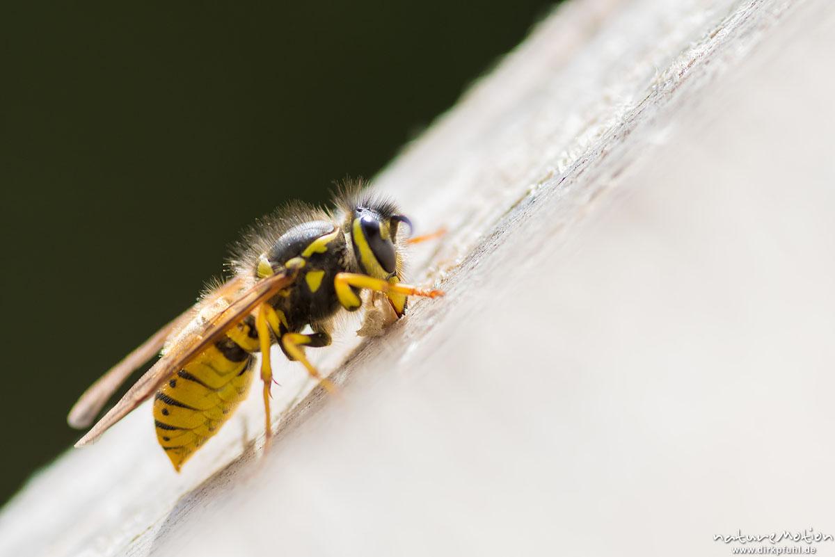Deutsche Wespe, Vespula germanica, Faltenwespen (Vespidae), Weibchen, Arbeiterin raspelt Holz für den Nestbau, Göttingen, Deutschland