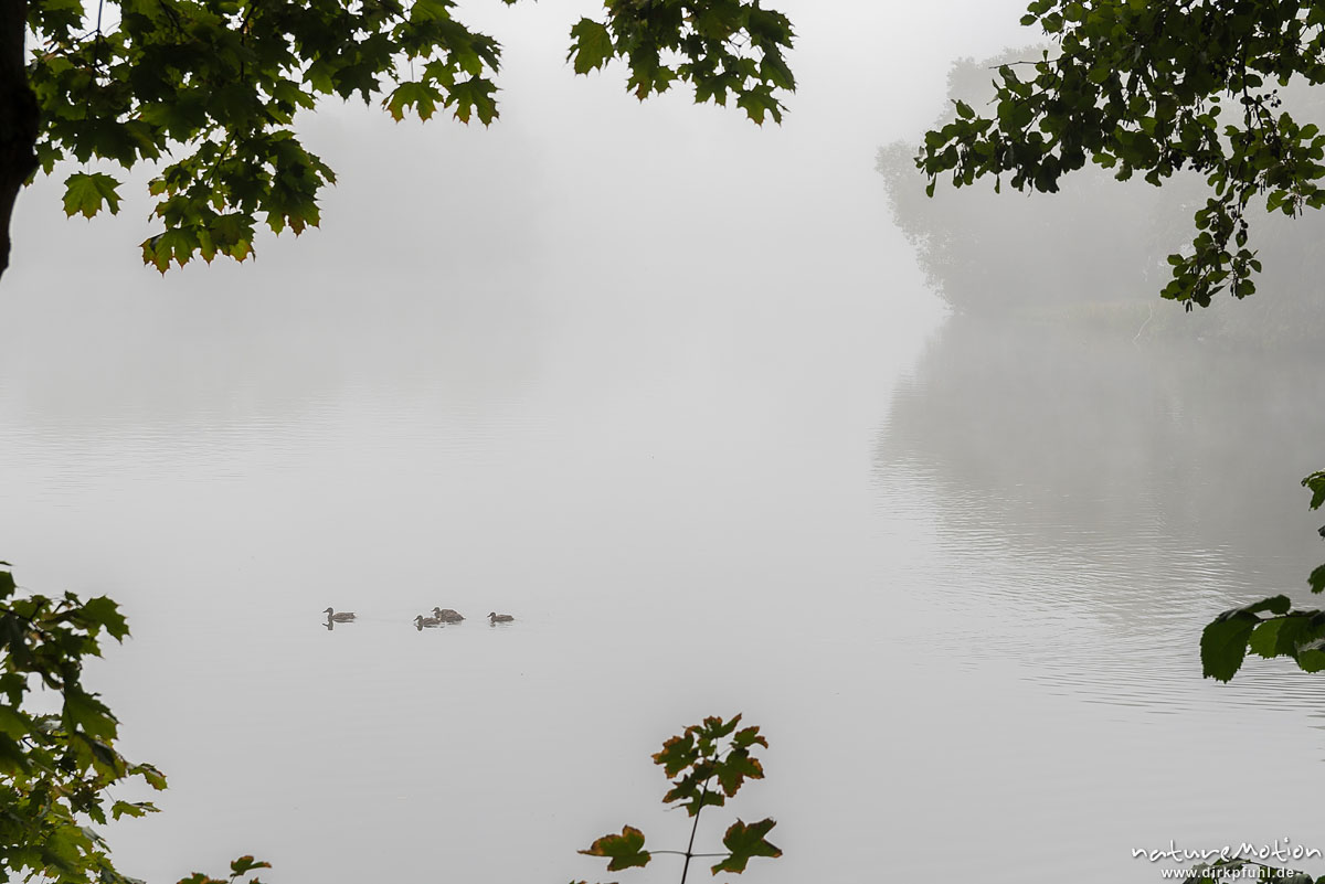 Stockente, Anas platyrhynchos, Anatidae, Gruppe von Jungvögeln schwimmt durch den Nebel, Kiessee, Göttingen, Deutschland