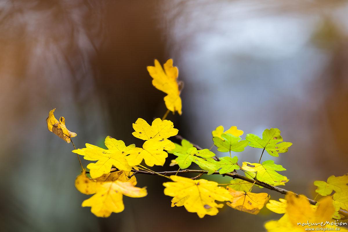 Feld-Ahorn, Acer campestre, Aceraceae, Herbstlaub, Göttinger Wald, Göttingen, Deutschland