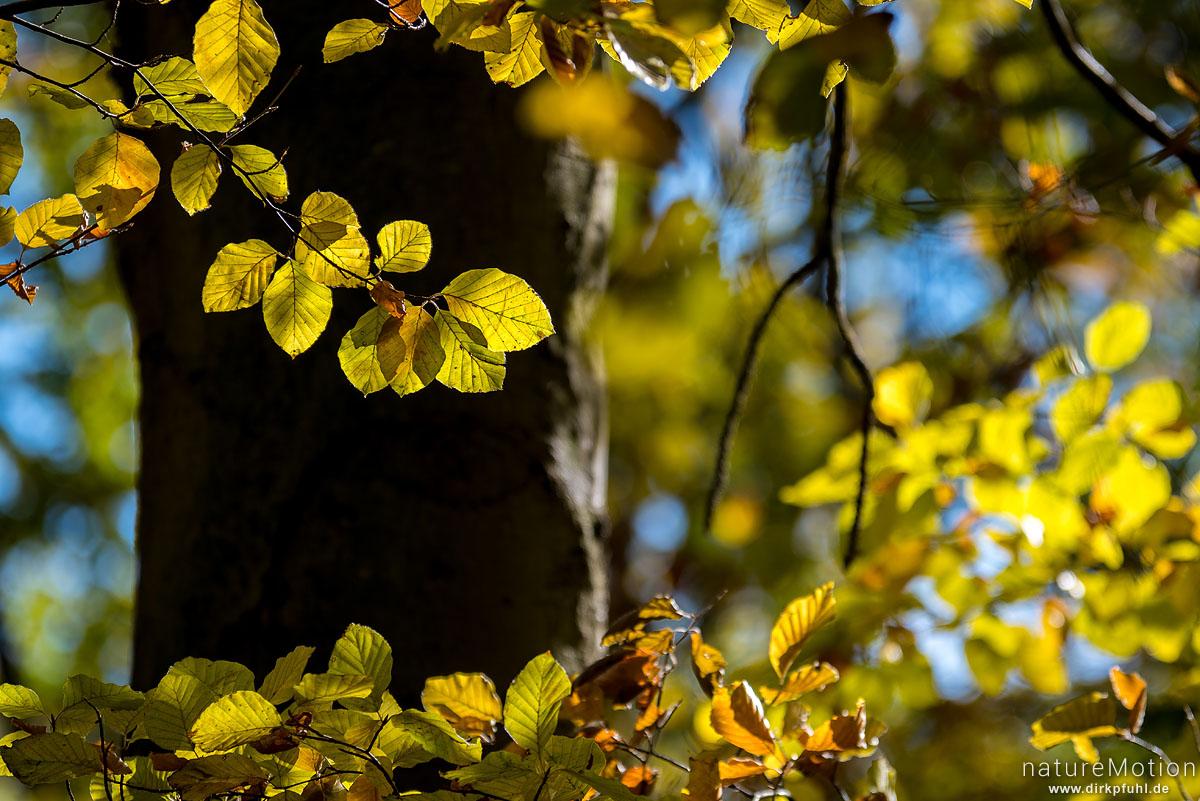 Rot-Buche, Fagus sylvatica, Fagaceae, leuchtendes Herbstlaub vor dunklem Stamm, Westerberg, Göttingen, Deutschland