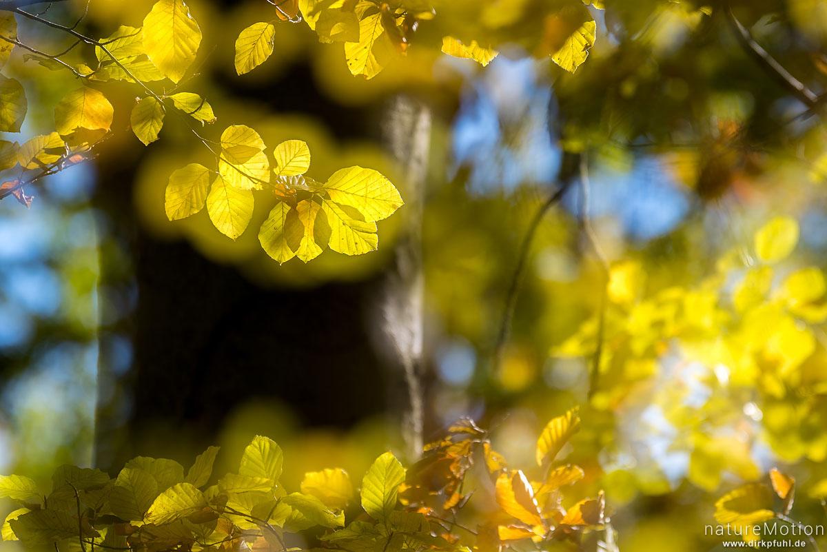 Rot-Buche, Fagus sylvatica, Fagaceae, leuchtendes Herbstlaub vor dunklem Stamm, Doppelbelichtung scharf/unscharf, Westerberg, Göttingen, Deutschland