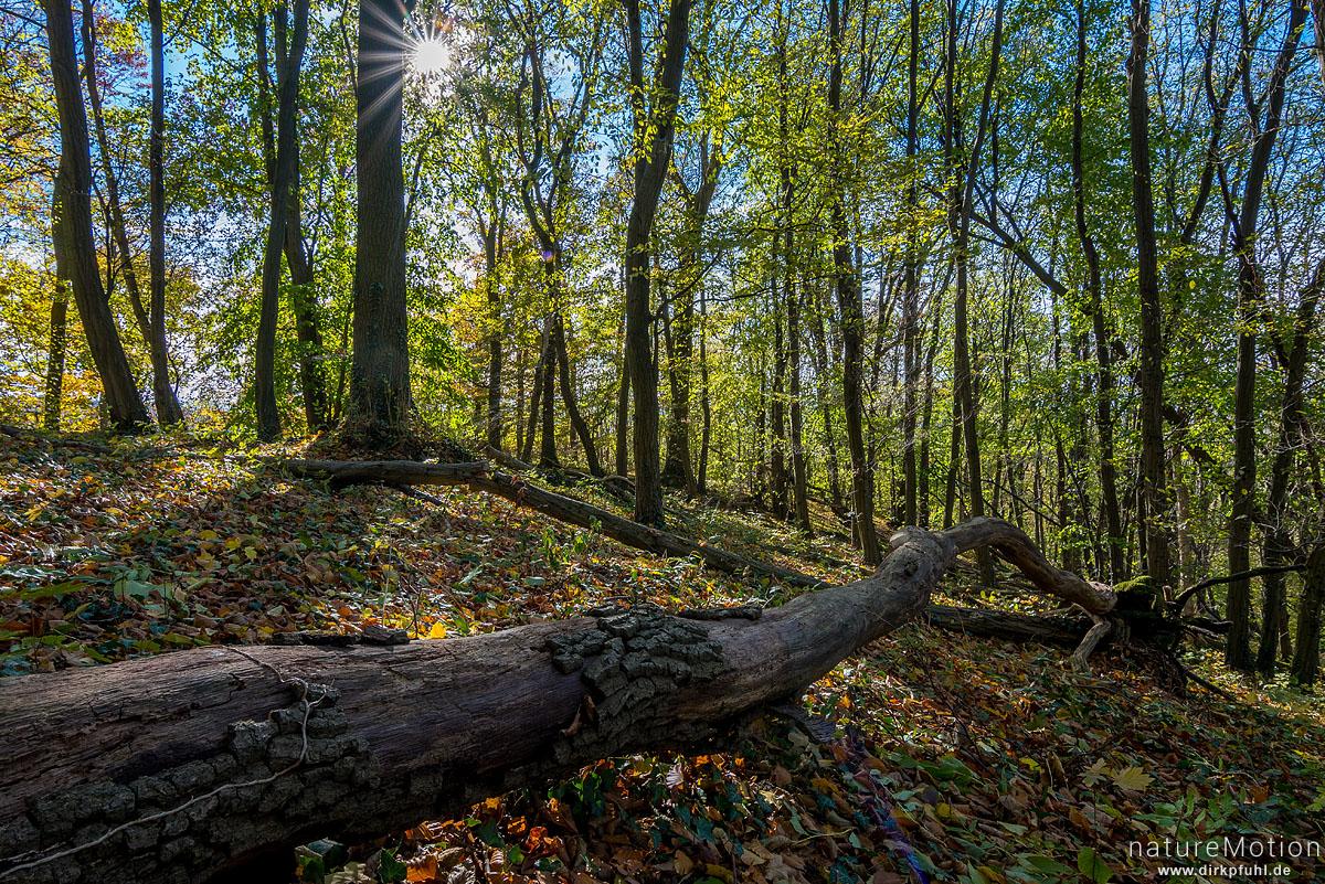 umgestürzter Baumstamm, Herbstwald, Westerberg, Göttingen, Deutschland