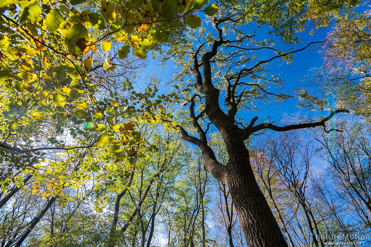 Esche, Fraxinus excelsior, Oleaceae, Stamm und Geäst gegen blauem Himmel, Herbstlaub, Westerberg, Göttingen, Deutschland