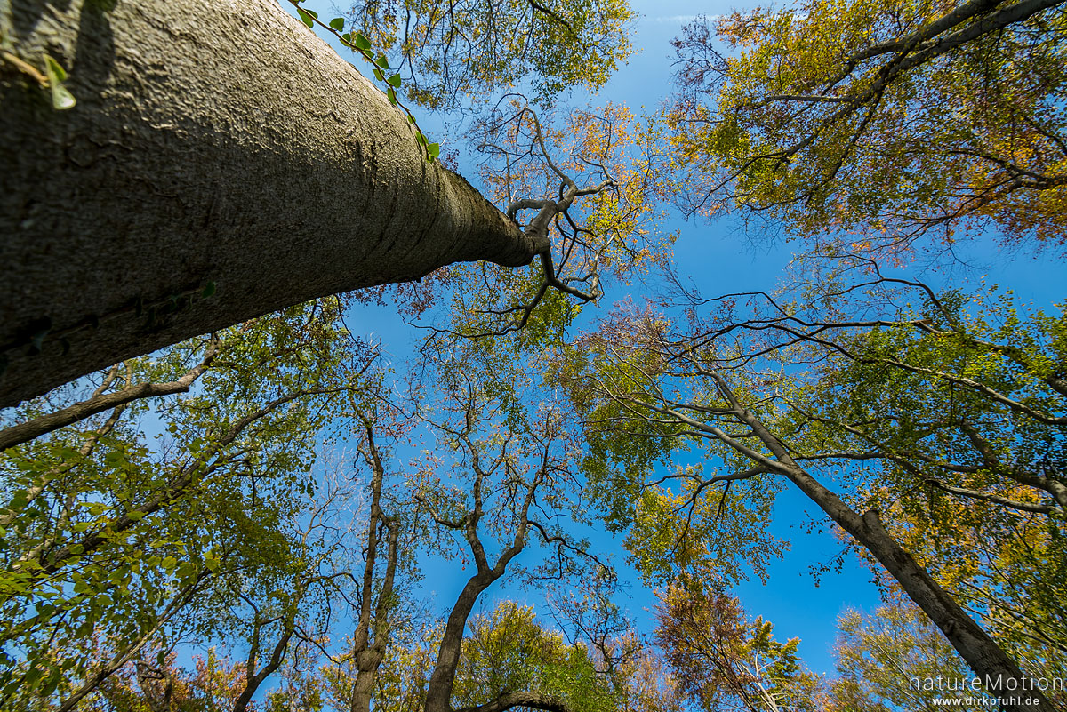 Baumkronen, Stamm und Geäst gegen blauem Himmel, Herbstlaub, Efeu, Westerberg, Göttingen, Deutschland