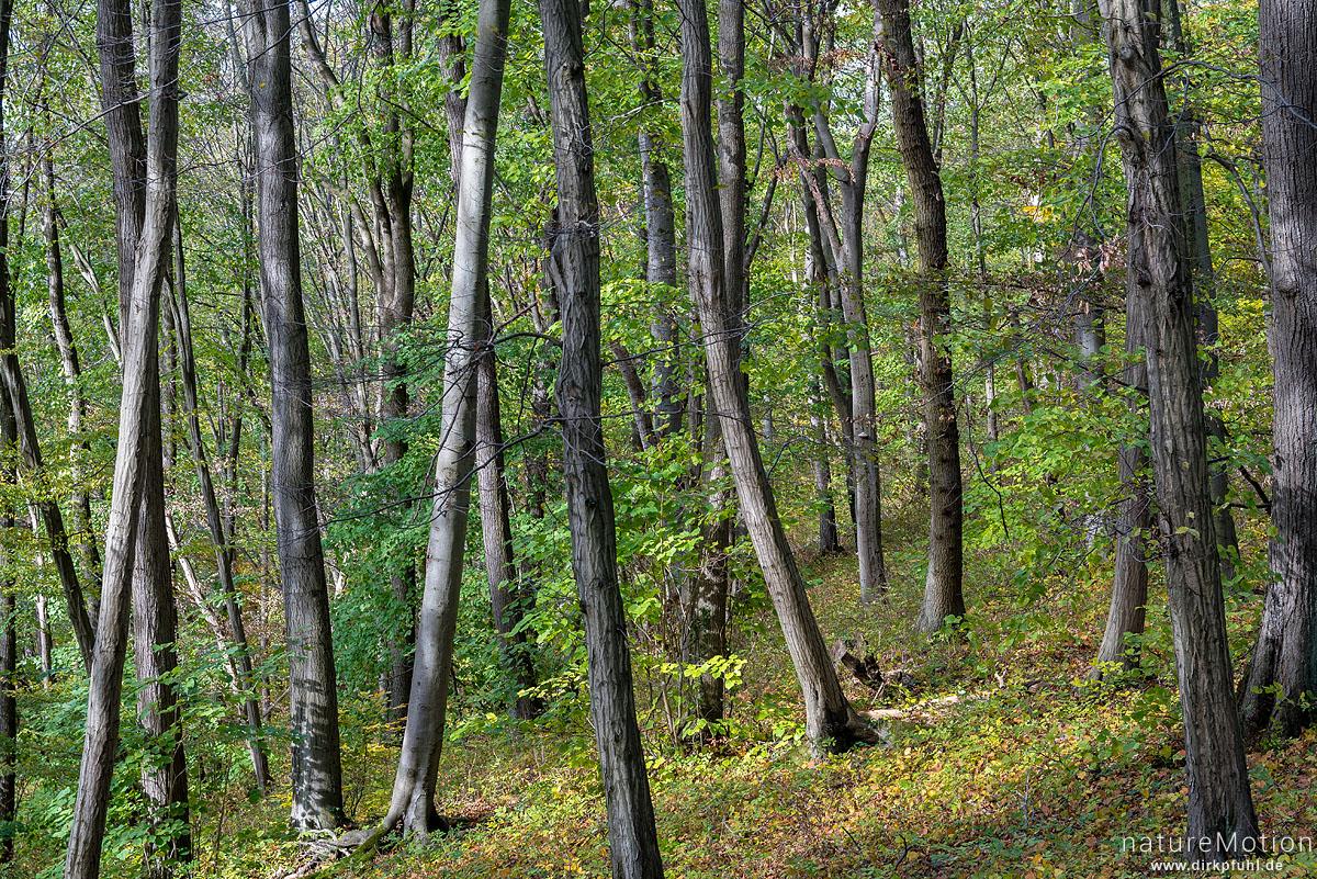 Herbstwald mit Eschen, Rot-Buchen und Hainbuchen, Westerberg, Göttingen, Deutschland