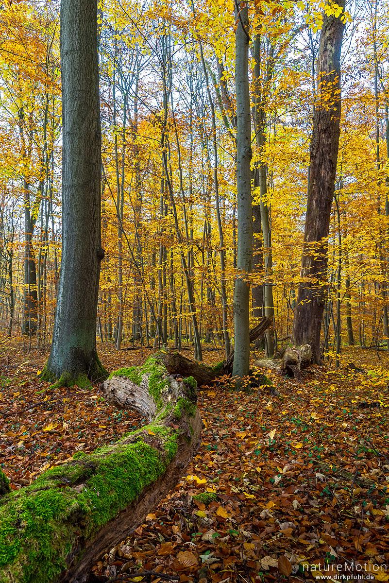 Herbstwald, Kehr, Göttinger Wald, Göttingen, Deutschland