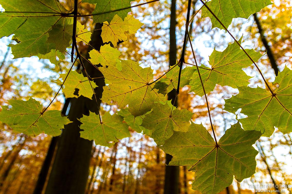 Spitz-Ahorn, Acer platanoides, Aceraceae, Laub mit Herbstfärbung, Kehr, Göttinger Wald, Göttingen, Deutschland