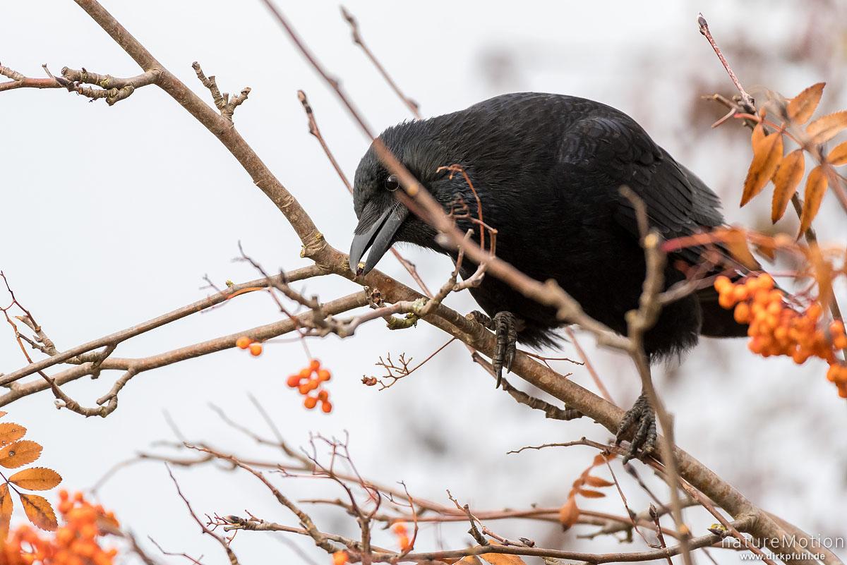 Aaskrähe, Rabenkrähe, Corvus corone, Rabenvögel (Corvidae), Tier sitzt im Geäst einer Eberesche und pickt deren Früchte, Flüthe, Göttingen, Deutschland