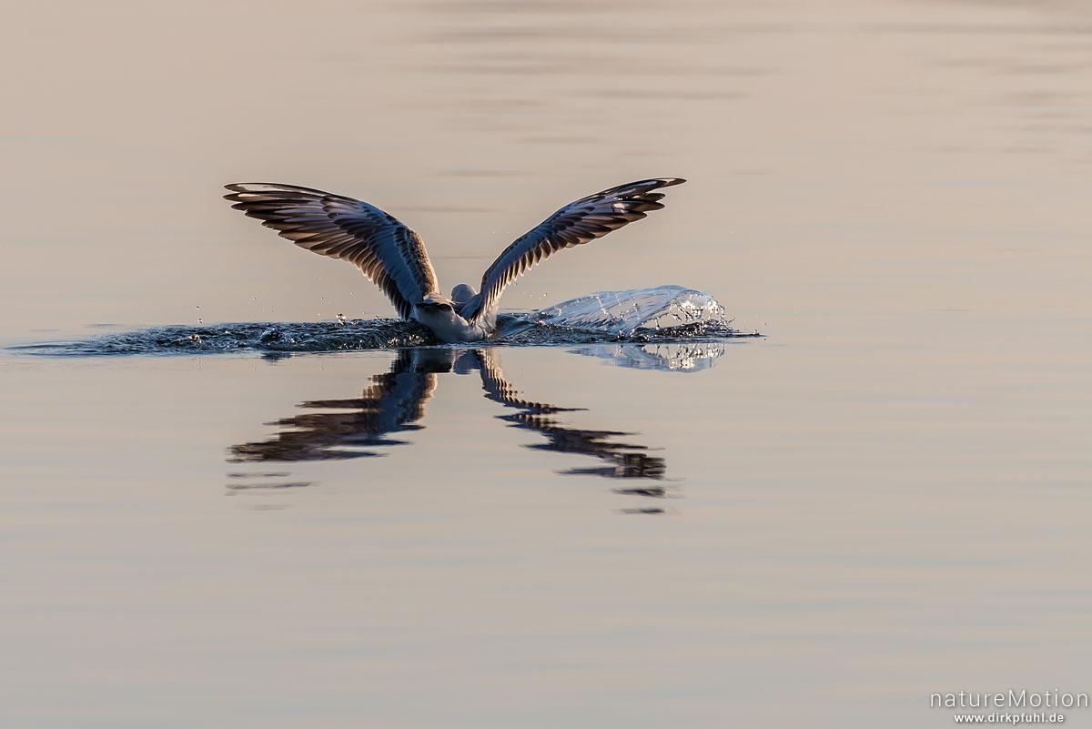 Lachmöwe, Larus ridibundus, Laridae, Tier mit Fisch, landet im Wasser, Seeburger See, Seeburger See, Deutschland