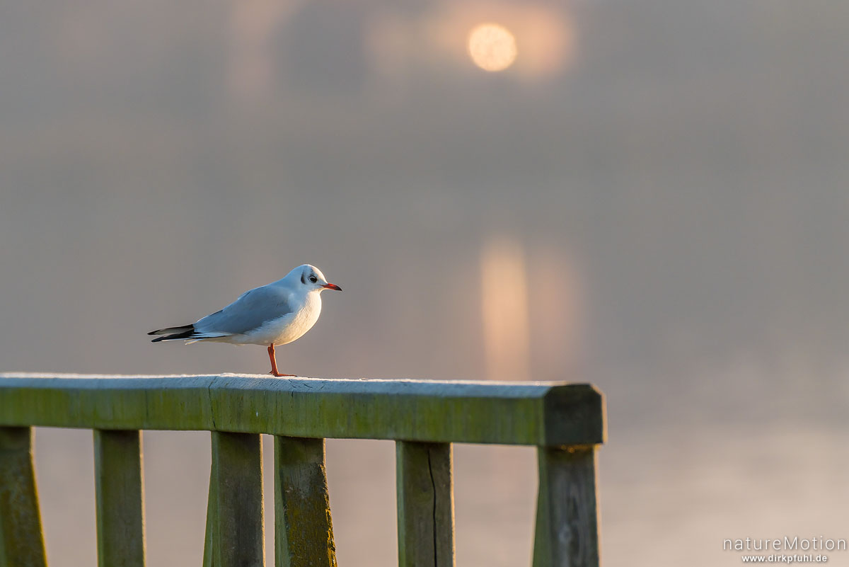 Lachmöwe, Larus ridibundus, Laridae, Tiere sitzen auf Geländer von Badesteg, Seeburger See, Seeburger See, Deutschland