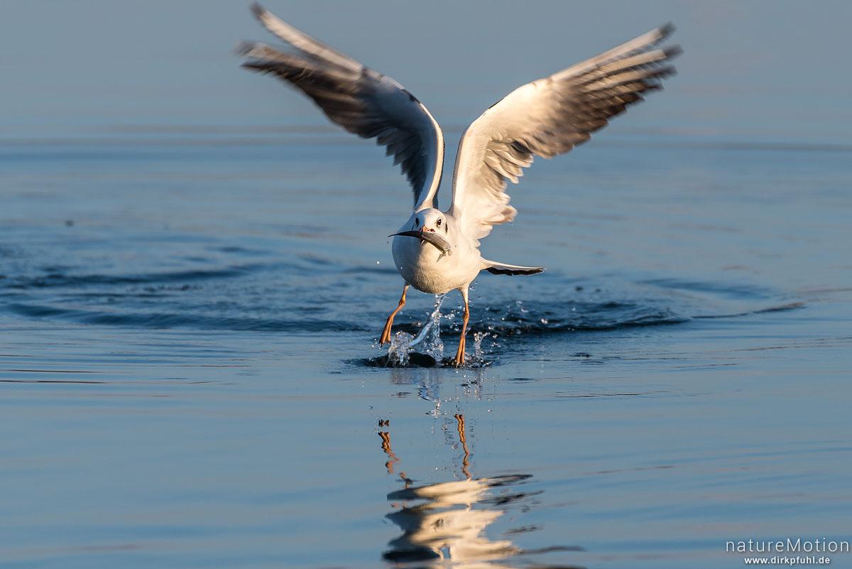 Lachmöwe, Larus ridibundus, Laridae, Tier mit Fisch, versucht Beute vor Artgenossen in Sicherheit zu bringen, Seeburger See, Seeburger See, Deutschland