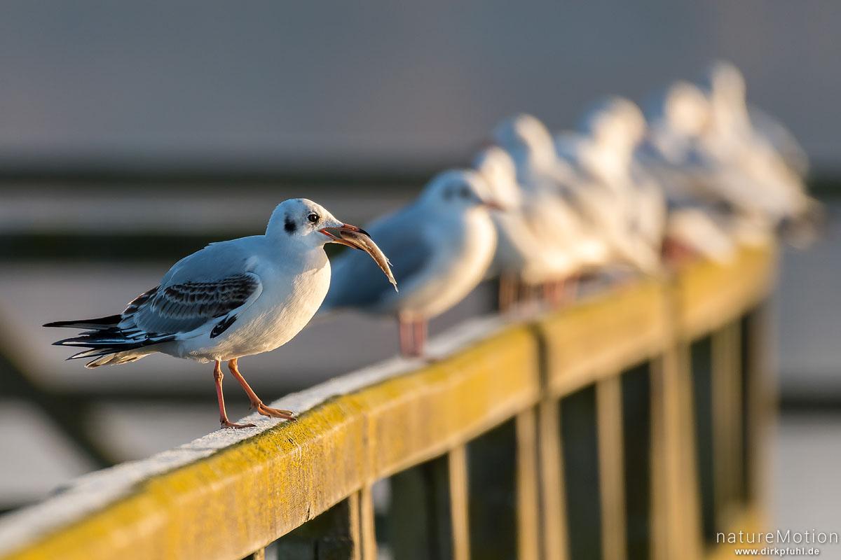 Lachmöwe, Larus ridibundus, Laridae, Tier mit Fisch, sitzt auf Geländer von Badesteg, Seeburger See, Seeburger See, Deutschland
